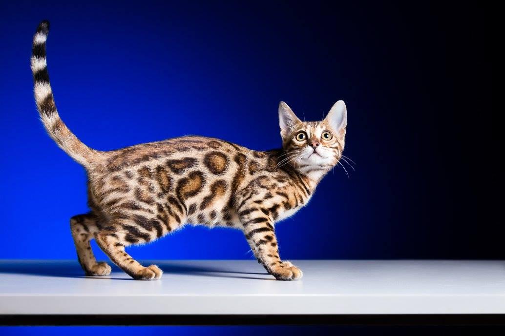Ženke | Bengalska mačka